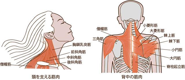 頚の筋肉 背中の筋肉